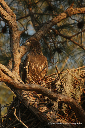 Bald Eagle, Marco Island, FL