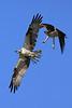 Osprey chase