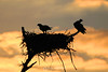 Osprey silhouette against sunrise