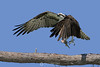 Osprey with fish takeoff