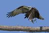 Osprey with fish takeoff