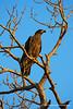 Juvenile Bald Eagle, Marco Island, FL