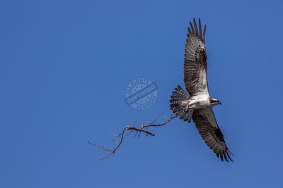 Osprey 0609