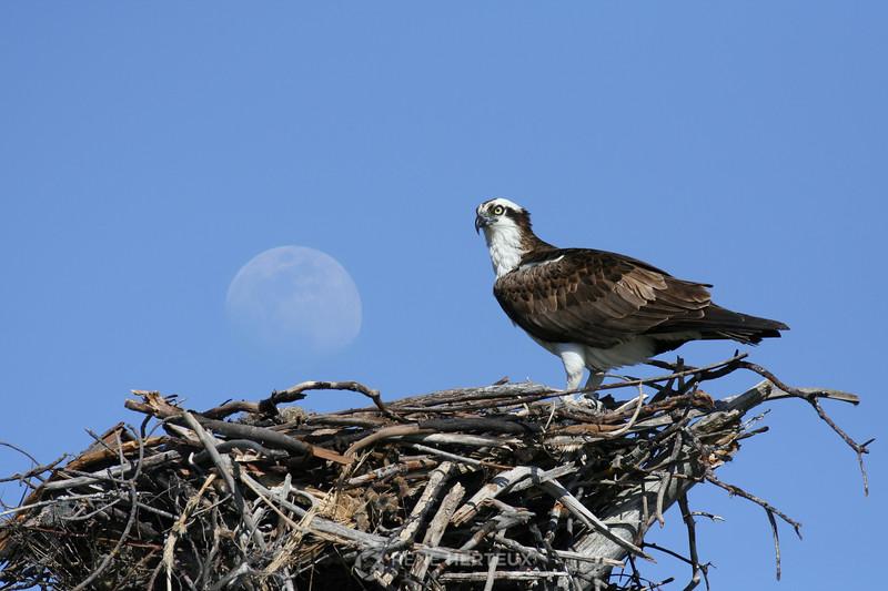 Rising moon over osprey nest