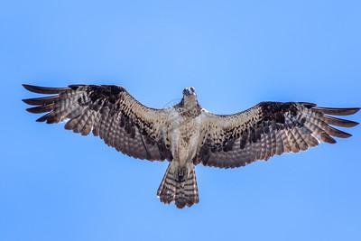 Osprey Acme 0451