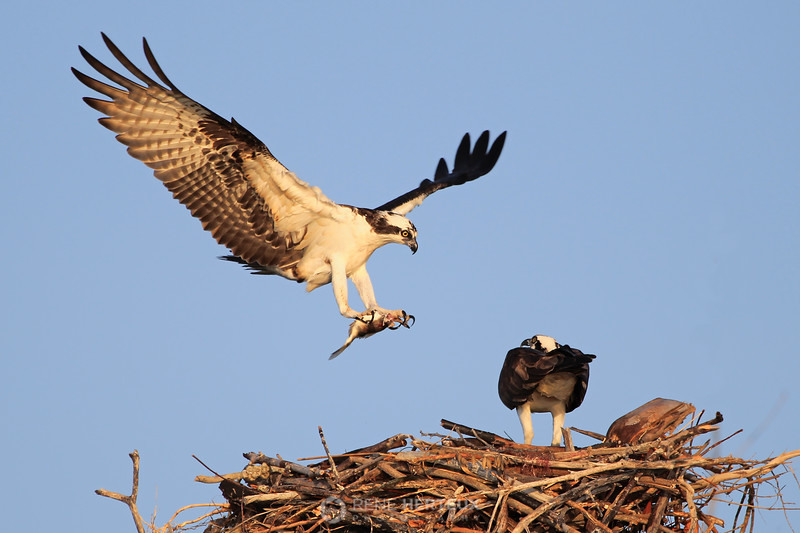 Osprey fly-in with fish