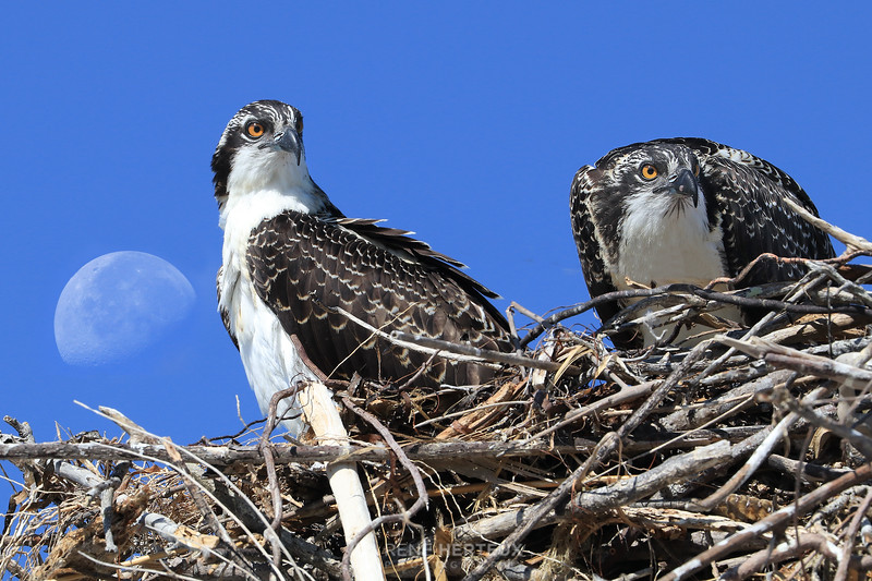 Ospreys with setting moon