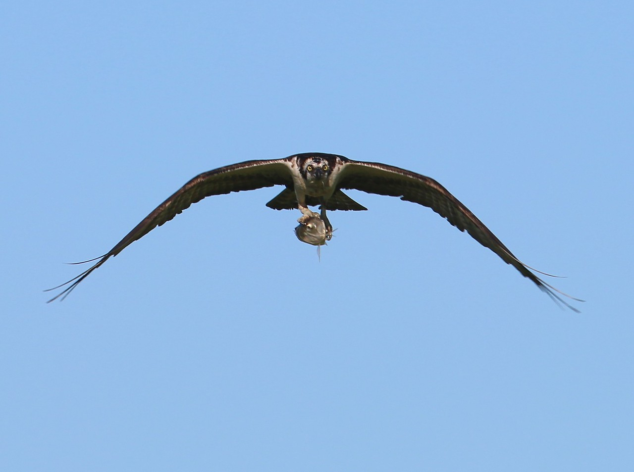 Osprey returning with a fish in talons - East River Boat Launch