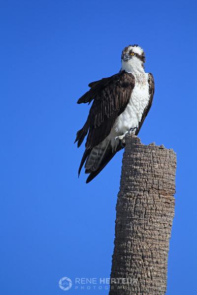 Osprey on palm tree