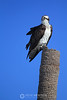 Osprey on palm tree