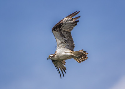 Osprey Acme 0215