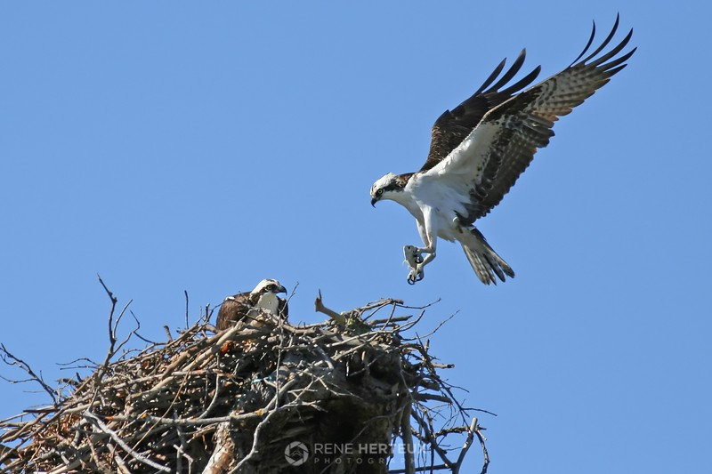 Osprey with fish offering