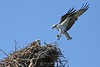 Osprey returning to the nest with fish