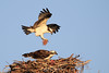 Osprey fly-in with nesting material