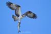Osprey with spanish mackerel