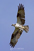 Osprey with pinfish