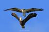 Osprey chasing bald eagle