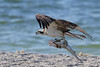 Osprey with sea trout