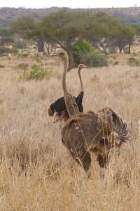 Common Ostrich pair - Tarangire National Park, Tanzania