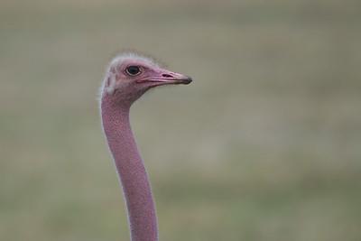 Common Ostrich - Male - Portrait - Ngorongoro Crater, Tanzania