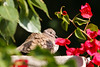 An Inca dove gets some sun in our backyard in Phoenix.