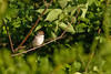 A chipping sparrow peeks out from a tree.
