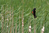 A red-winged blackbird clings to a cattail at the Bass Ponds preserve in Minneapolis.