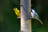 A goldfinch and chickadee share a feeder in Waupaca.