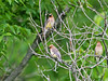 A group of Cedar waxwings perch on a tree at the Quarry Hills preserve in Rochester.