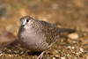 An Inca dove checks out the camera at the Sonoran Desert Museum in Tucson.