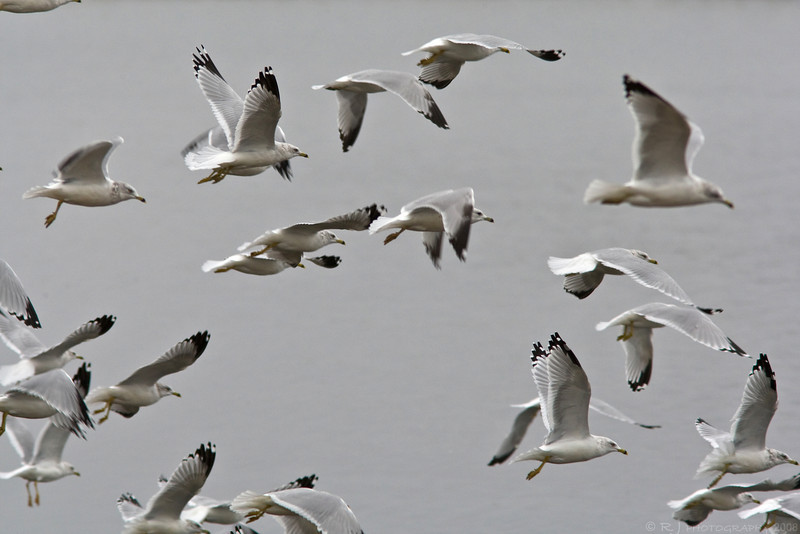 A flock of Ring-billed gulls takes flight on a gloomy day at the Lake Pepin harbor.