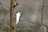 A Downy woodpecker clings to a branch.
