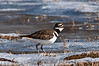 Killdeer searching for food in winter