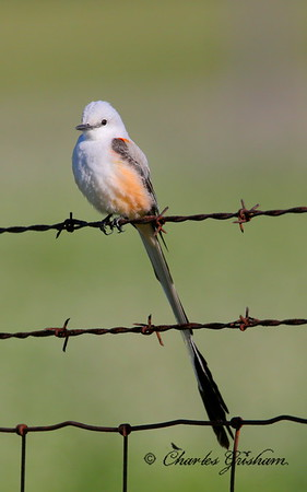 Scissor-tailed Flycatcher Tyrannus forficatus Winfred Thomas Agricultural Research Station Canon 6d, Canon 500 F4 IS lens, 1.4xII converter ISO 800, f/8, 1/3200s shot jpeg, handheld sunny conditions