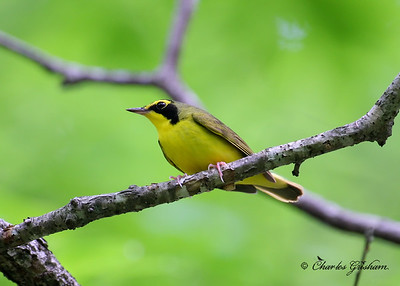 Kentucky Warbler at the Cane Creek Preserve in northwest Alabama.