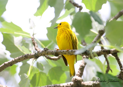 Yellow Warbler at Cane Creek Canyon Preserve in north Alabama