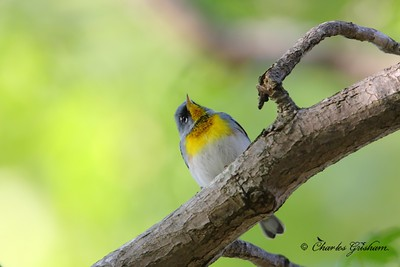 Northern Parula Setophaga americana New Market, Alabama Canon 40d, shot raw Canon 500mm F4 IS lens, Canon 1.4x converter ISO 400, F5.6, 1/125s shot handheld