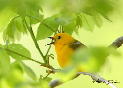 Prothonotary warbler Protonotaria citrea Canon 40d, shot raw Canon 500 f4 IS lens, Canon 1.4x converter ISO 400, F5.6, 1/400s shot handheld