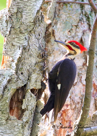 Pileated Woodpecker Dryocopus pileatus New Market, Alabama Canon 6d (full frame), shot jpeg Canon 500 F4 IS lens, Canon 1.4x converter ISO 2000, F7.1, 1/320s shot handheld