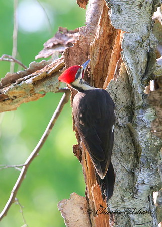 Pileated Woodpecker Dryocopus pileatus New Market, Alabama Canon 6d (full frame), shot jpeg Canon 500 F4 IS lens, Canon 1.4x converter ISO 2000, F7.1, 1/400s shot handheld