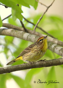 Palm Warbler Setophaga palmarum Canon 40d, Canon 500 F4 IS lens, Canon 1.4x converter ISO 400, F5.6, 1/125s shot handheld