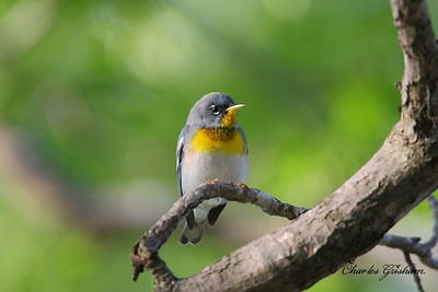 Northern Parula Setophaga americana New Market, Alabama Canon 40d, shot raw Canon 500mm F4 IS lens, Canon 1.4x converter ISO 400, F5.6, 1/250s shot handheld
