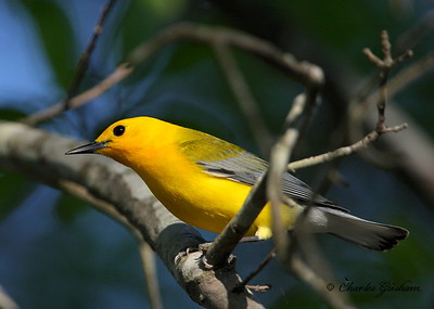 Prothonotary warbler Protonotaria citrea Canon 40d, shot raw Canon 500 f4 IS lens, Canon 1.4x converter ISO 400, F5.6, 1/1000s shot handheld
