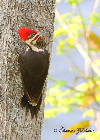 Pileated Woodpecker Dryocopus pileatus New Market, Alabama Canon 6d (full frame), shot jpeg Canon 500 F4 IS lens, Canon 1.4x converter ISO 2000, F7.1, 1/250s shot handheld