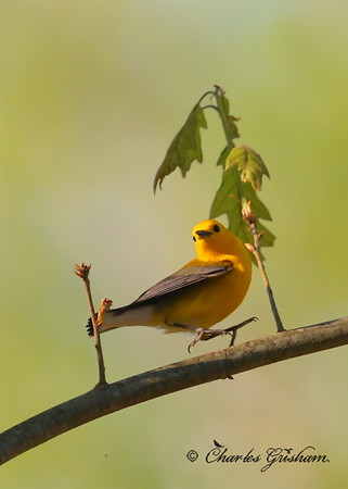Prothonotary warbler Protonotaria citrea Canon 6d, shot jpeg Canon 500 f4 IS lens, Canon 1.4x converter ISO 2500, F57.1, 1/1600s shot handheld