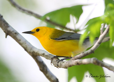 Prothonotary warbler Protonotaria citrea Canon 40d, shot raw Canon 500 f4 IS lens, Canon 1.4x converter ISO 400, F5.6, 1/320s shot handheld