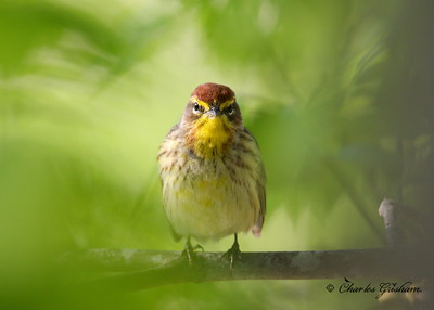 Palm Warbler Setophaga palmarum Canon 40d, Canon 500 F4 IS lens, Canon 1.4x converter ISO 400, F5.6, 1/400s shot handheld