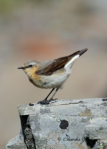 Northern Wheatear Oenanthe oenanthe Alaska, Dalton Highway, Atigun Pass July 11, 2014 Canon 6d, Canon 500 F4 IS lens, 1.4x ii converter Sunny conditions I photographed this Wheatear on the north side of Atigun Pass, just 30 feet or so off the Dalton Highway.  The Wheatears apparently nested in this location as there were at least a couple of young Wheatears that could fly.
