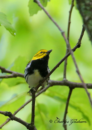 Male Black-throated Green Warbler on Monte Sano