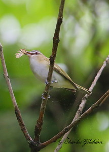Red-eyed Vireo on Monte Sano